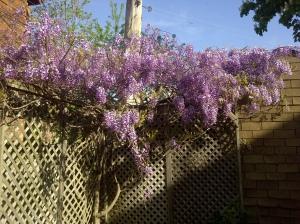 John's wisteria3