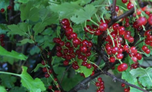 Blog - Red Currants