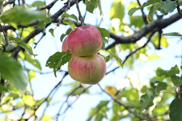 Blog - Ripening apples in tree