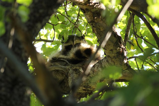 Blog - Rocky Raccoon
