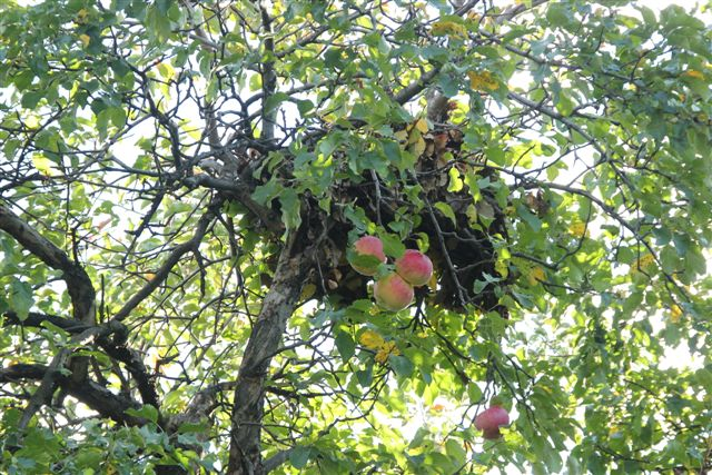 Blog - Squirrel nest above apples
