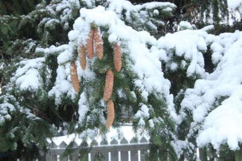 """Snow Cones"" on Spruce Branch - Photo by Hamlin Grange"