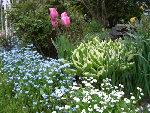Blog Photo - Tulips Hosta and Forget Me Nots