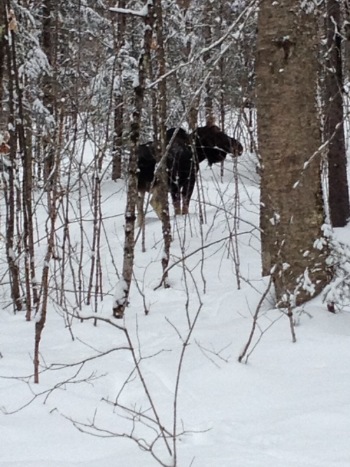 Blog Photo - Moose in Snow