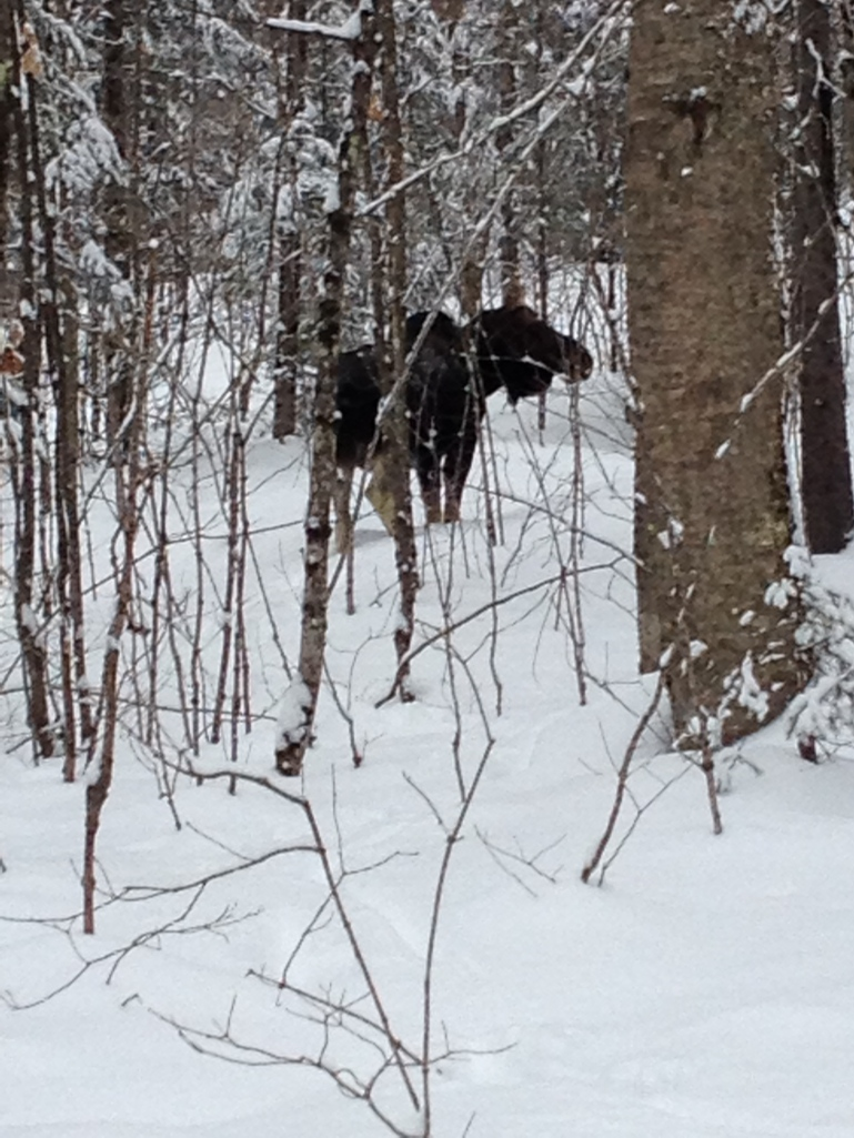 Blog Photo - Moose in Snow