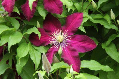 Spring Garden - Clematis
