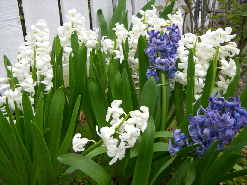 Spring Garden - Hyacinths