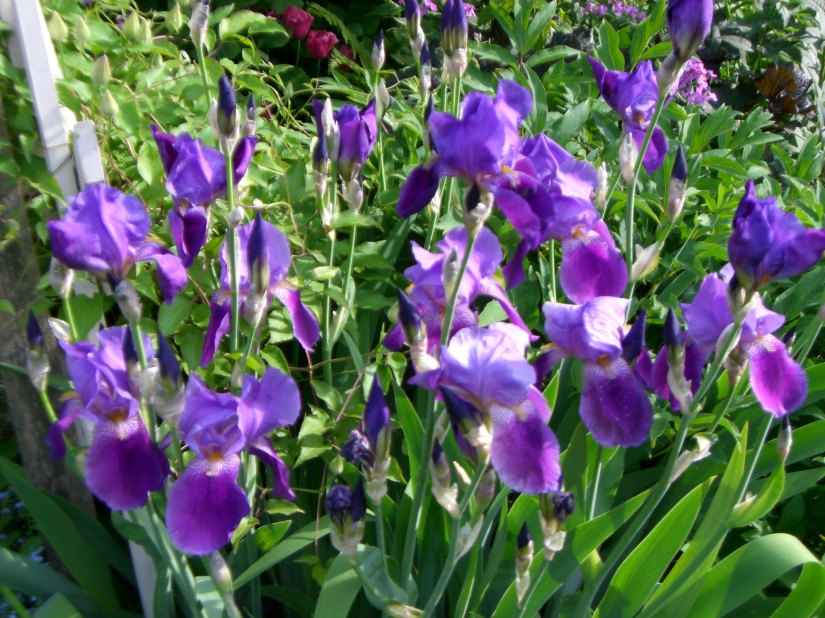 Spring Garden - Irises