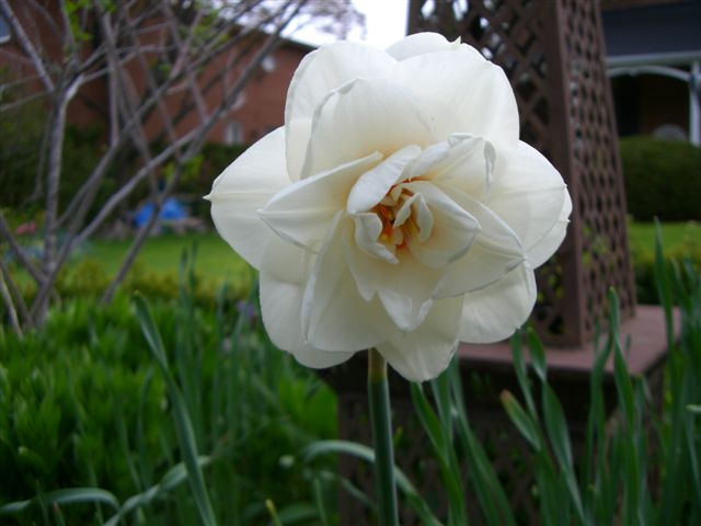 Blog Photo - Daffodil white