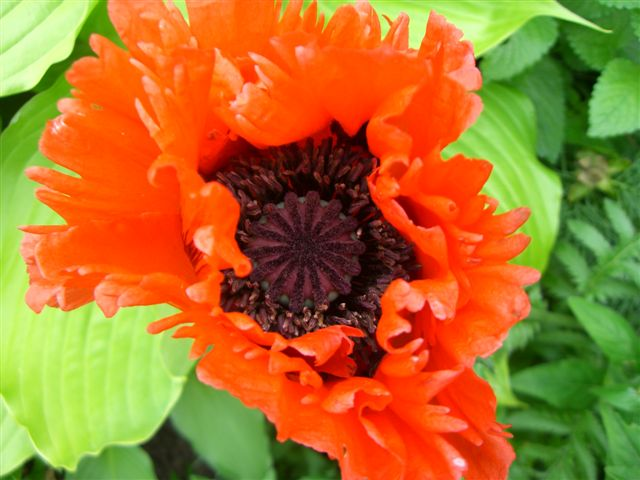 Blog Photo - Red Poppy