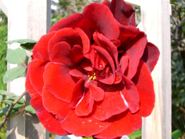Blog Photo - Red Rose 003