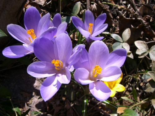 Blog Photo - Crocus in Spring