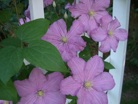 Blog Photo - Pink Clematis