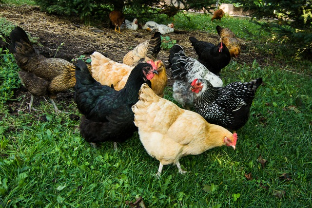 Blog Photo - Vals chickens roaming