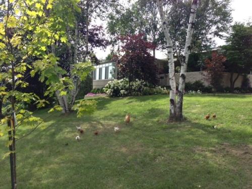 Blog Photo - Vals chickens roaming