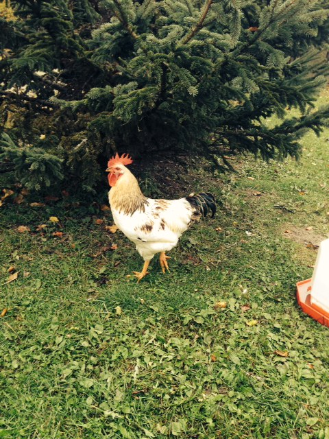 Blog Photo - Vals Rooster Mr T