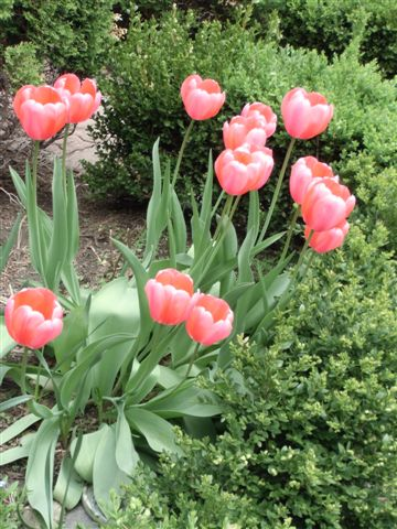 Blog Photo - Tulips in garden near verandah