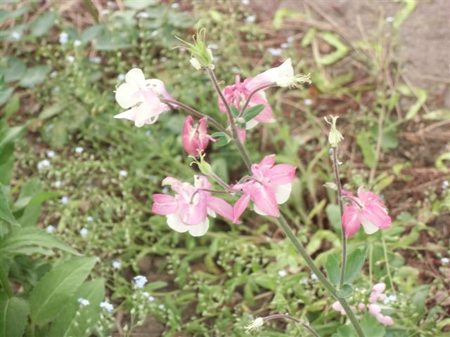 Blog Photo - columbines pink and white