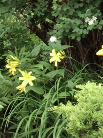 Blog Photo - Lilies yellow