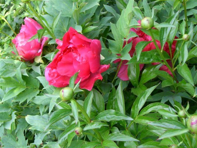 Blog Photo - Peonies in Bloom