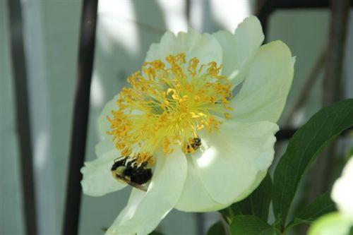 Blog Photo - Peony and bee
