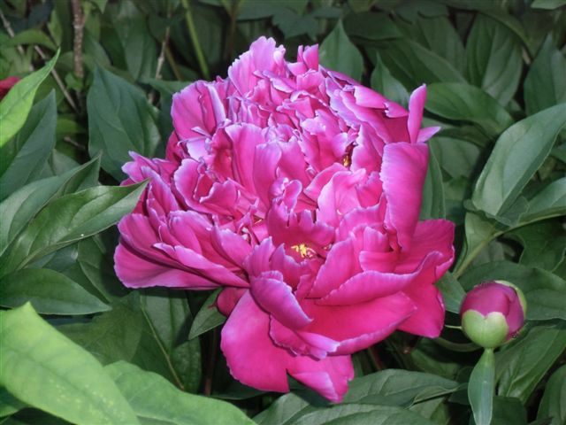 Blog Photo - Peony deep pink single