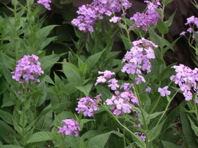 Blog Photo - Phlox wild pink