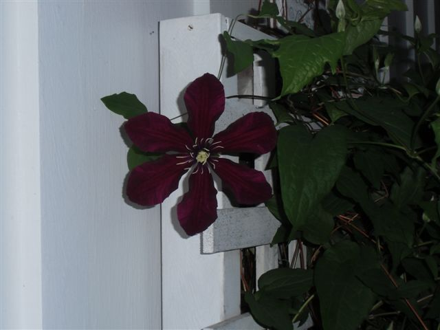 Blog Photo - Rainy but sheltered clematis