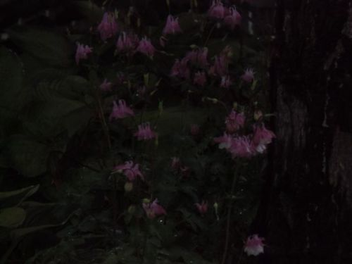 Blog Photo - Rainy Columbines in dark