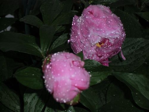 Blog Photo - Rainy Peonies