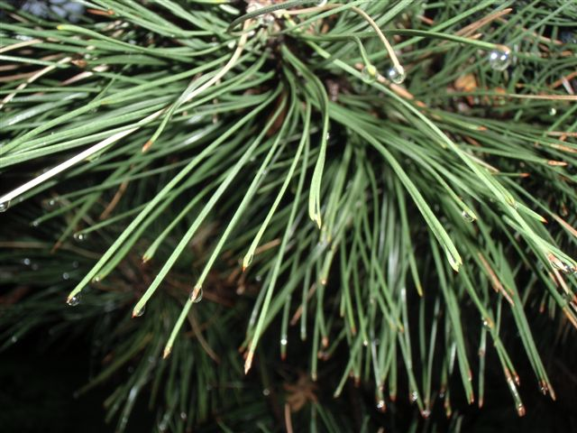 Blog Photo - Rainy Pine needles