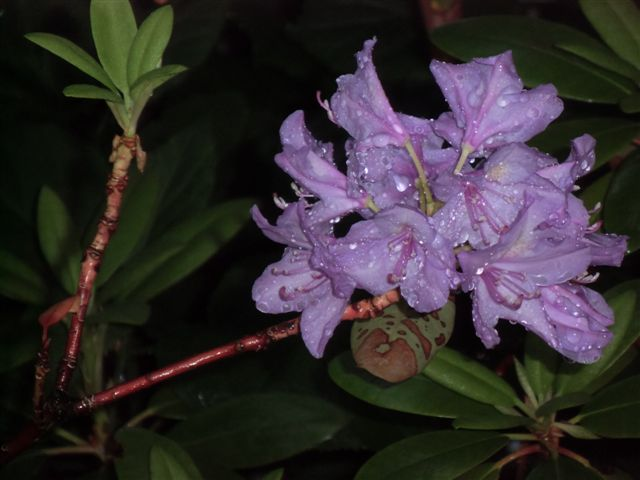 Blog Photo - Rainy Rhodo Bloom
