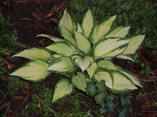Blog Photo - Rainy Yellow hosta
