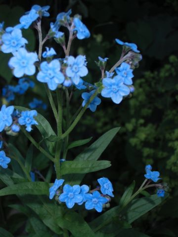 Blog Photo - Blue forget me not -- closer