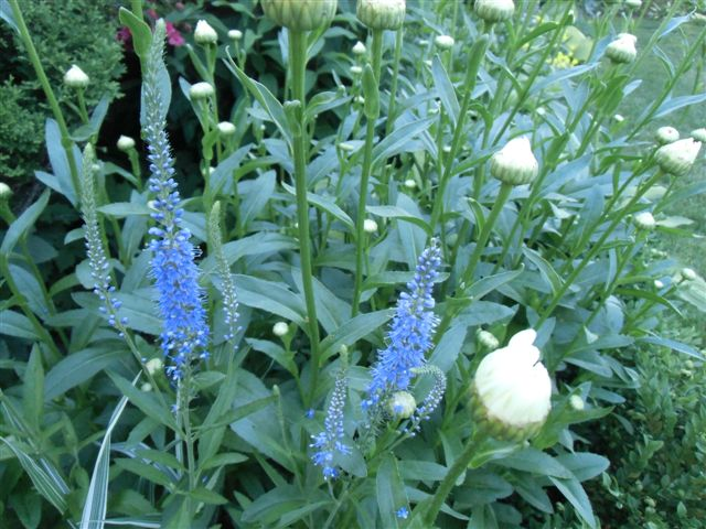 Blog Photo - Blue Salvia wide