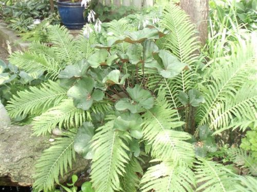 Blog Photo - Gail's Garden - Ferns over pond CU