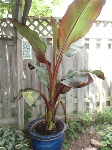 Blog Photo - Gail's Garden Rescued Banana Tree