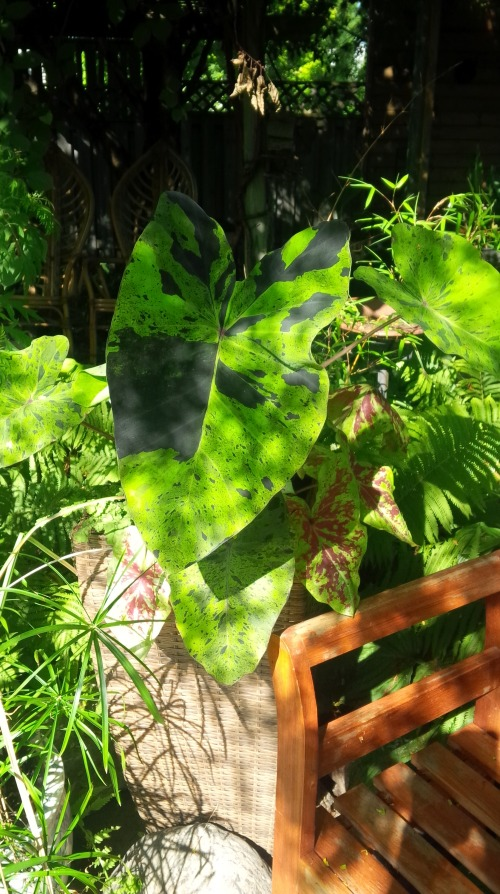 Blog Photo - Gail's Garden Taro