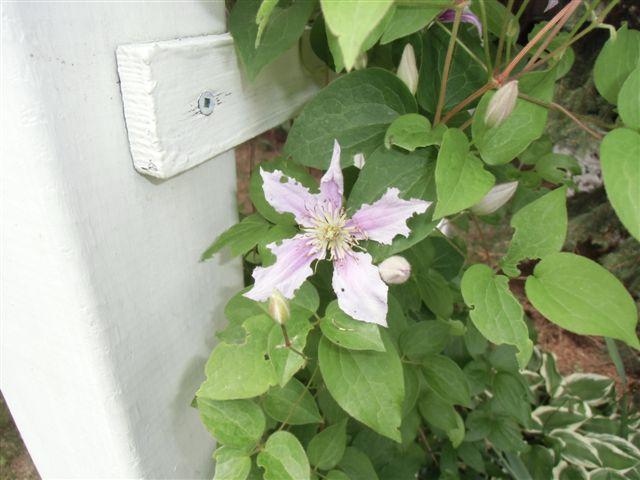 Blog Photo -Garden bugs Clematis 1