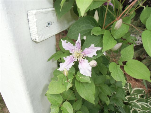Blog Photo -Garden bugs Clematis 1