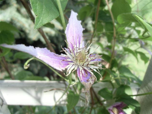 Blog Photo -Garden bugs Half-eaten Clematis