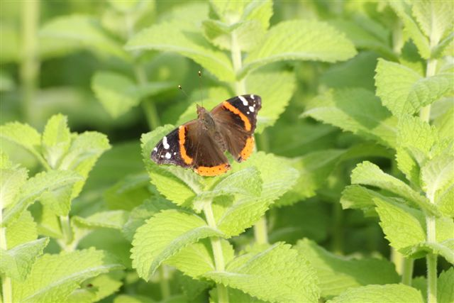 Blog Photo - Garden - Butterfly on Mint