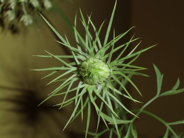 Blog Photo - Garden - Queen Anne's Lace in Bud2