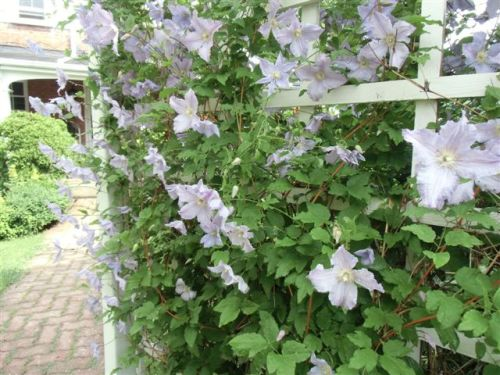 Blog Photo - Garden rain blue-lavender clems