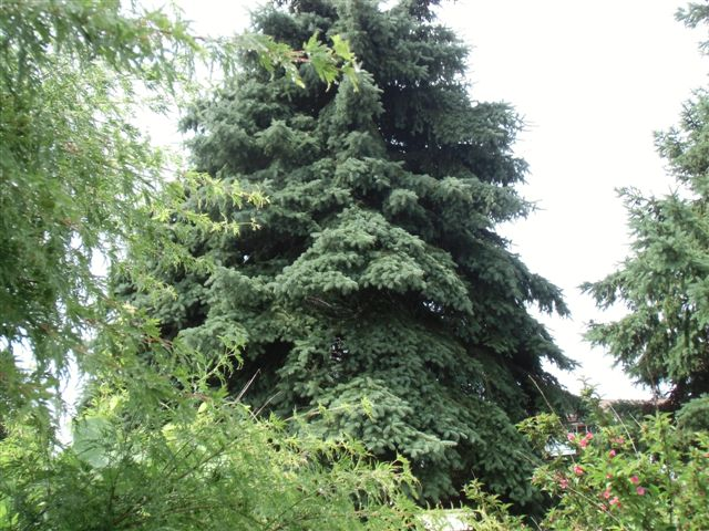 Blog Photo - Garden rain blue spruce