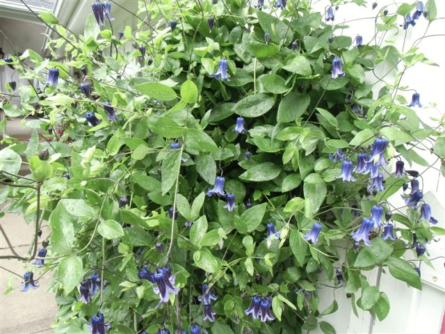 Blog Photo - Garden rain Clematis dark blue