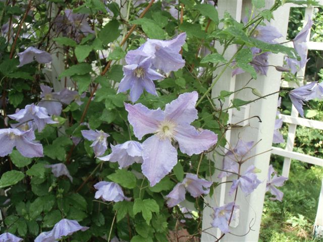 Blog Photo - Garden rain lavender blue clematis
