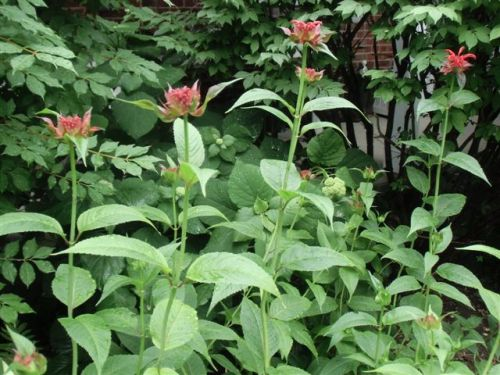 Blog Photo - Garden rain Red Bee Balm about to bloom