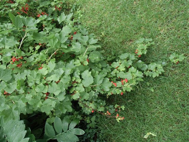 Blog Photo - Garden rain red currants branch
