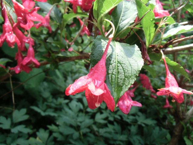 Blog Photo - Garden rain - red weigela branch